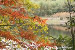 ハゼの紅葉:内田池;クリックすると大きな写真になります。