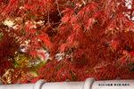 糸もみじの紅葉:明王院;クリックすると大きな写真になります。