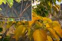 アカメガシワの黄葉:大森;クリックすると大きな写真になります。