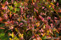 イヌタデ(アカマンマ)の紅葉:野々井;クリックすると大きな写真になります。