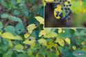 イボタノキの実:鴨谷台;クリックすると大きな写真になります。