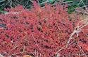 コニシキソウの紅葉:大庭寺;クリックすると大きな写真になります。