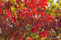 ハナミズキの紅葉:桃山台公園;クリックすると大きな写真になります。