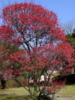 鹿児島紅:荒山公園;クリックすると大きな写真になります。