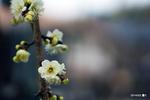 枝垂れ梅;クリックすると大きな写真になります。