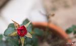 鉢植えのバラ;クリックすると大きな写真になります。