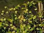 沈丁花の蕾:檜尾;クリックすると大きな写真になります。