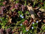 オオイヌノフグリとヒメオドリコソウ;クリックすると大きな写真になります。