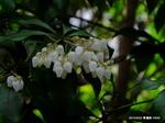 アセビの花:青蓮院;クリックすると大きな写真になります。