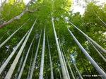 裏庭の竹林:青蓮院;クリックすると大きな写真になります。