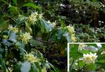 樒の花:青蓮院;クリックすると大きな写真になります。