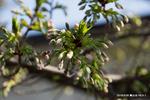 大島桜の花芽:桃山台緑道;クリックすると大きな写真になります。