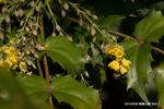 ヒイラギナンテンの花:西原公園;クリックすると大きな写真になります。