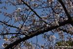 私的標準木:西原公園;クリックすると大きな写真になります。