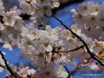 ソメイヨシノ:西原公園;クリックすると大きな写真になります。