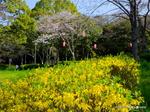 レンギョウとソメイヨシノ:西原公園;クリックすると大きな写真になります。