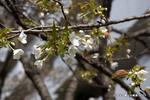大島桜;クリックすると大きな写真になります。