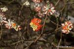 ミツマタの花;クリックすると大きな写真になります。