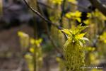 ネグンドカエデの花;クリックすると大きな写真になります。