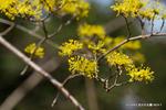 サンシュウユの花;クリックすると大きな写真になります。