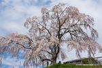 御池台滝桜;クリックすると大きな写真になります。