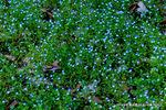 オオイヌノフグリの群落;クリックすると大きな写真になります。