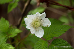 ノイチゴの花;クリックすると大きな写真になります。