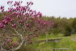 紫木蓮;クリックすると大きな写真になります。