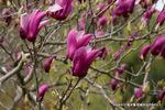 紫木蓮 アップ;クリックすると大きな写真になります。