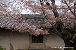 葉桜;クリックすると大きな写真になります。