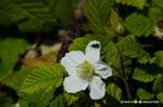 クサイチゴの花;クリックすると大きな写真になります。