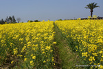 菜の花畑:リサイクル環境公園;クリックすると大きな写真になります。