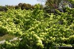 オオデマリ:リサイクル環境公園;クリックすると大きな写真になります。