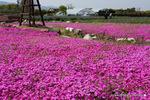 芝桜:リサイクル環境公園;クリックすると大きな写真になります。