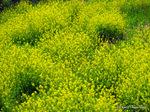 西洋カラシナ:和田川;クリックすると大きな写真になります。