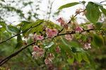 桜、鬱金;クリックすると大きな写真になります。