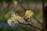 ミツマタの花:京都府立植物園;クリックすると大きな写真になります。