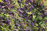 ハーデンベルギア:京都府立植物園;クリックすると大きな写真になります。