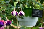 >シロと紫のフクシア:京都府立植物園;クリックすると大きな写真になります。