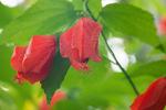 ウナツギヒメフヨウ:京都府立植物園;クリックすると大きな写真になります。