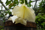 オサ プルクラ:京都府立植物園;クリックすると大きな写真になります。
