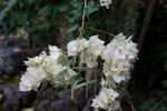 カエンカズラ:京都府立植物園;クリックすると大きな写真になります。