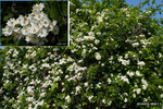 ノイバラの花;クリックすると大きな写真になります。