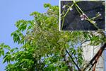 センダンの花;クリックすると大きな写真になります。