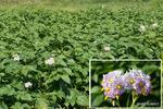 じゃがいもの花:大森;クリックすると大きな写真になります。