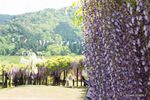 白井大町藤公園;クリックすると大きな写真になります。