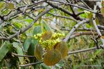 オオカメノキ(ムシカリ)の新芽;クリックすると大きな写真になります。