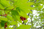 ハウチワノカエデの花;クリックすると大きな写真になります。