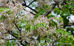 センダンの花:野々井;クリックすると大きな写真になります。