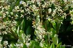 トウネズミモチの花:大森;クリックすると大きな写真になります。